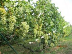 Прикрепленное изображение: Виноградник НПЗ 250.jpg